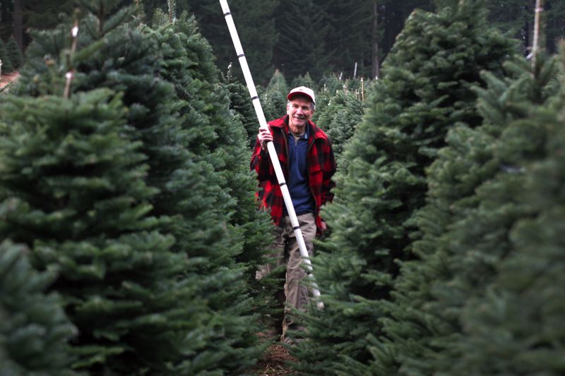 by: OUTLOOK PHOTO: JIM CLARK - Dave Olcott walks through a stand of his Christmas trees with a pole that customers use to measure trees and know how much the tree costs.