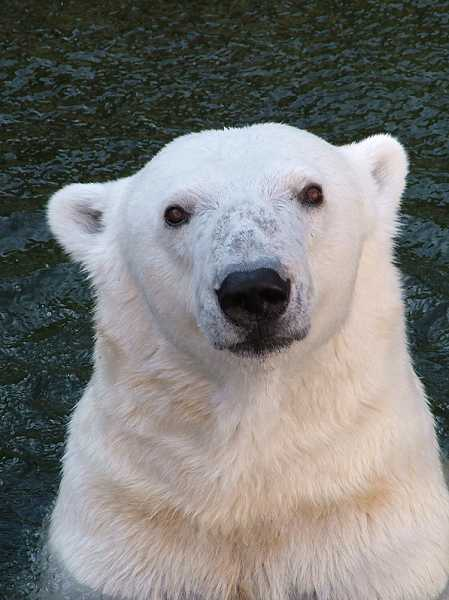 by: SUBMITTED PHOTO: MICHAEL DURHAM - Polar bear Tasul will be among the animals inspiring children's artistic endeavors during the Oregon Zoo's 'ARcTic Adventure' day camps.
