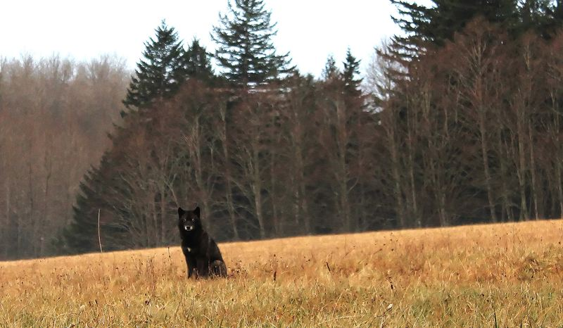 by: OUTLOOK PHOTO: CARI HACHMANN - Sitting in a Corbett field, the black dog that looks like a wolf - Sweet Pea - has a gentle demeanor.