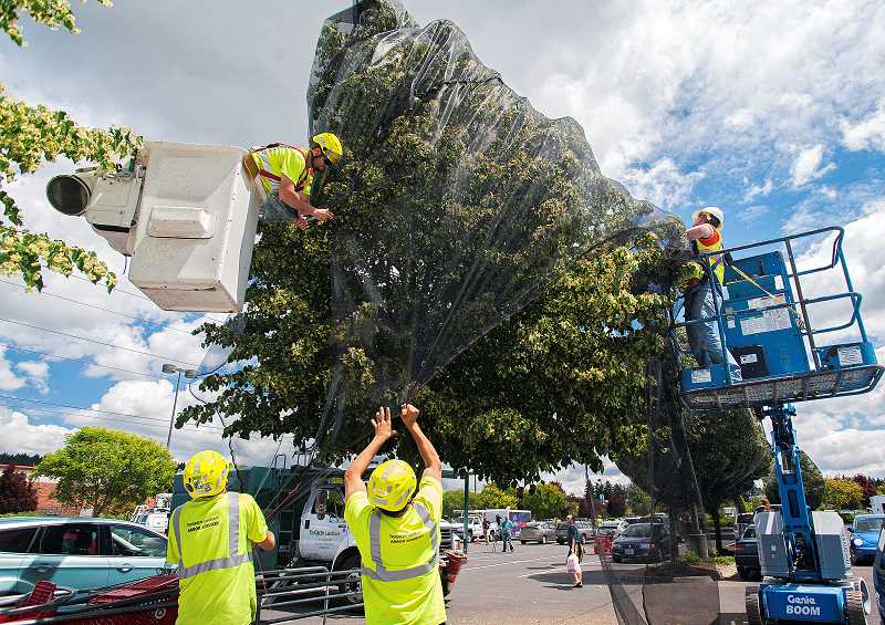 by: JOSH KULLA - More than 50,000 bumblebees were killed in Wilsonville in June when a landscaping company applied Safari insecticide to blooming linden trees.