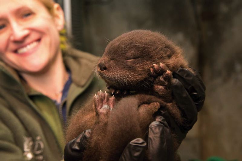by: COURTESY OF MICHAEL DURHAM/OREGON ZOO - The Oregon Zoos young sea otter goes by Zigzag, or Ziggy, after a public vote for a name. Trask and Willamette were other options.