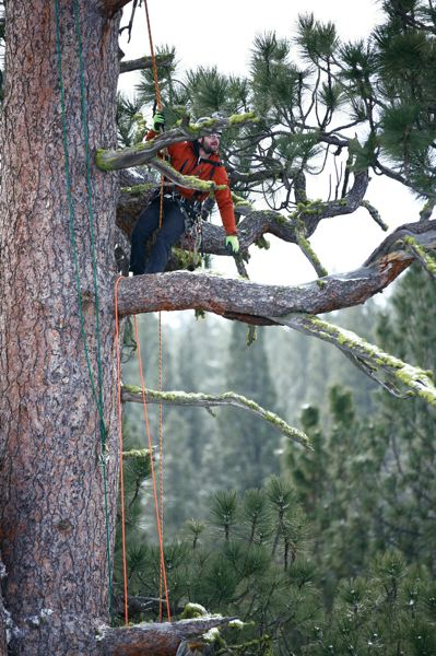 by: PHOTO BY WILL KOOMJIAN - Brian French is shown above measuring the national champion Pinus ponderosa, or Ponderosa pine. The tree, located in Oregons La Pine State Park, is the largest of its species; it is visited by thousands of people each year.