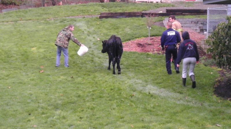by: PHOTO COURTESY OF MCMINNVILLE FIRE DEPARTMENT - The cow is led back to its home after its swimming ordeal.