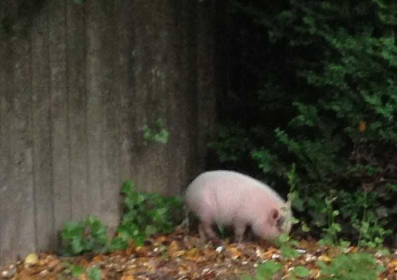 by: REVIEW FILE PHOTO - This pig was responsible for one call Lake Oswego police responded to in 2013. In May, Officer John Brent wrestled the squealing animal, which had managed to elude neighbors, into a patrol car and took it downtown, where the porker waited in a holding cell until its owner called and came to fetch it.