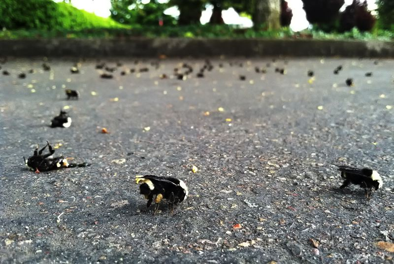 by: SPOKESMAN PHOTO: JOSH KULLA - Dead bees littered the ground outside the Wilsonville Target store during a June incident involving insecticides. It was the largest recorded bee kill in U.S. history.