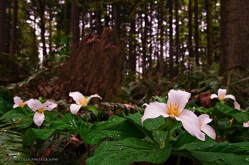 by: SPOKESMAN PHOTO: JOSH KULLA - The trilliums at Tranquil Park in Wilsonville provide an early look at the spring flowers that grace the city.