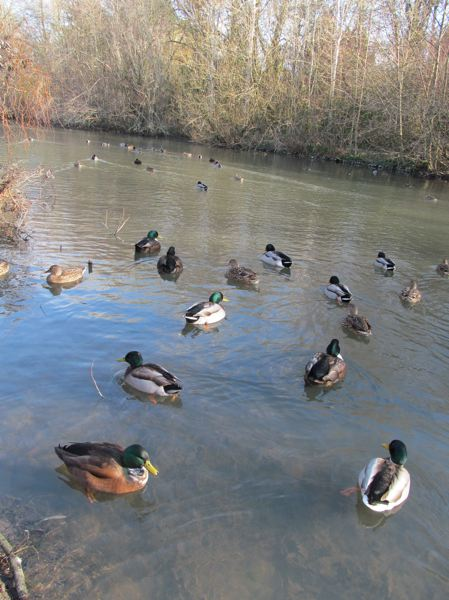 by: PHOTO BY ELLEN SPITALERI - Mallards and a wideon or two gravitate toward bird counters, hoping, in vain, to be fed, at the pond near near the Eastern Orthodox Church of the Annunciation.