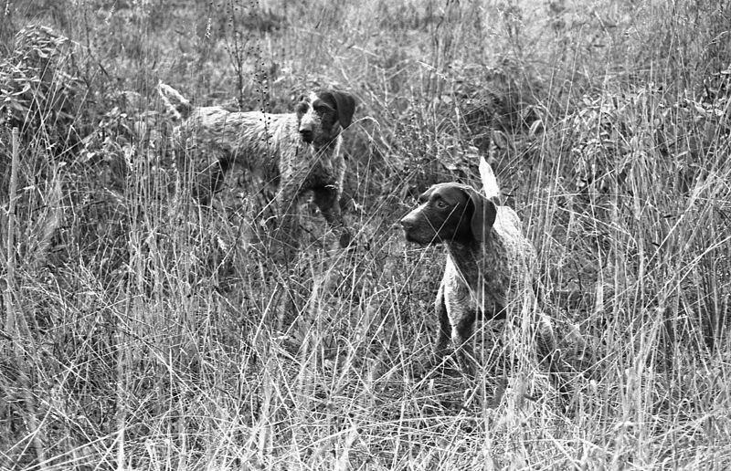 by: SPOKESMAN FILE PHOTO - Cascade Steamer (front) and Cascade Rogue are probably Dr. Ray Calkins two most decorated champions. This photo was taken by a Spokesman photographer for a feature story on Calkins dogs back in 1985.