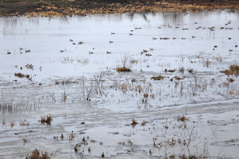 by: PAMPLIN MEDIA GROUP: JONATHAN HOUSE - Hundreds of duck and geese bathe at the Tualatin River National Wildlife Refuge.