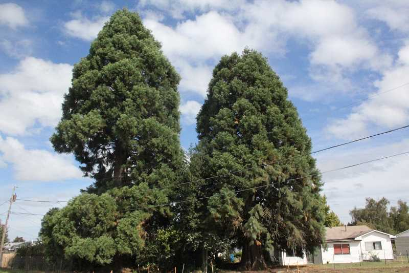 by: FILE PHOTO - Two sequoias stand along Highway 214, in the way of a future sound wall. ODOT and the nearby homeowner has agreed to remove the one on the left. The future of the sequoia on the right remains uncertain.