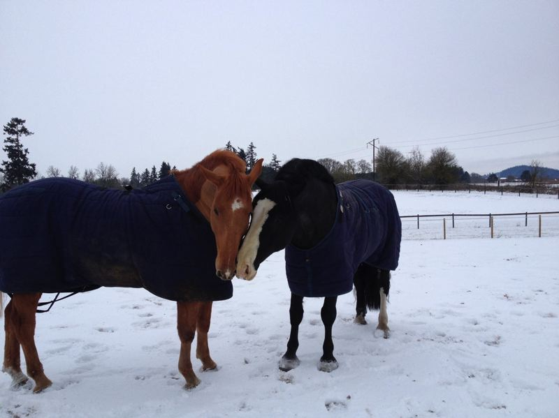 by: FRIENDS OF THE MOUNTED PATROL - Monty and Murphy, two Mounted Patrol horses, at their temporary Narnia Farms home.
