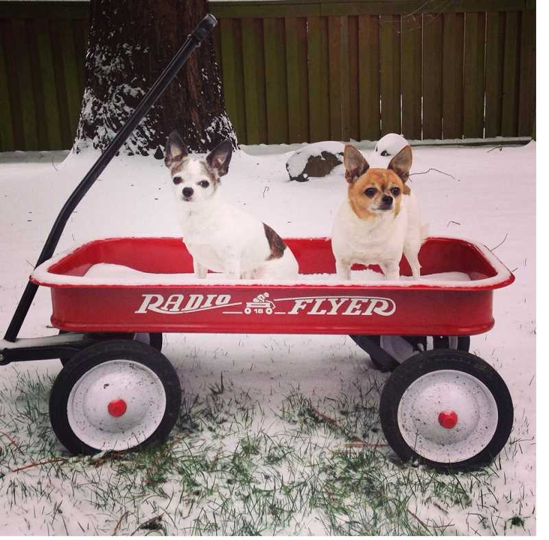 by: COURTESY OF KAMA CARROLL - Kama Carroll's two dogs were a little freaked out by the snow, enjoying instead a view from a wagon