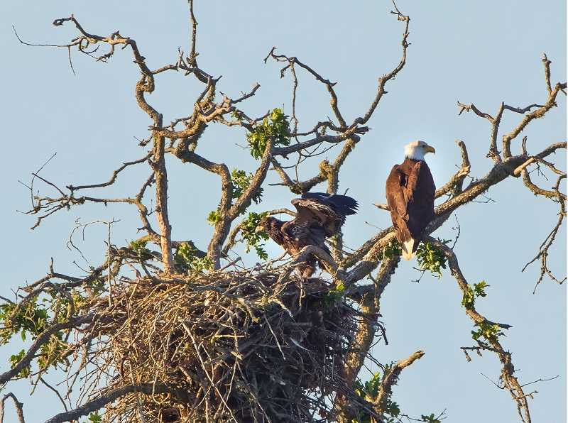 by: COURTESY OF TOM DARNALL  - Here is a shot of one of the eaglets, left, and an adult eagle, shot in May 2013 at the Tualatin River National Wildlife Refuge by professional landscape photographer Tom Darnall.