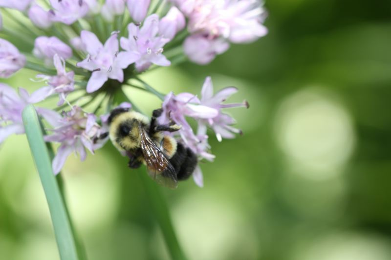 by: PHOTO COURTESY SARINA JENSEN - The rusty patched bumble bee is endangered, according to the Xerces Society.