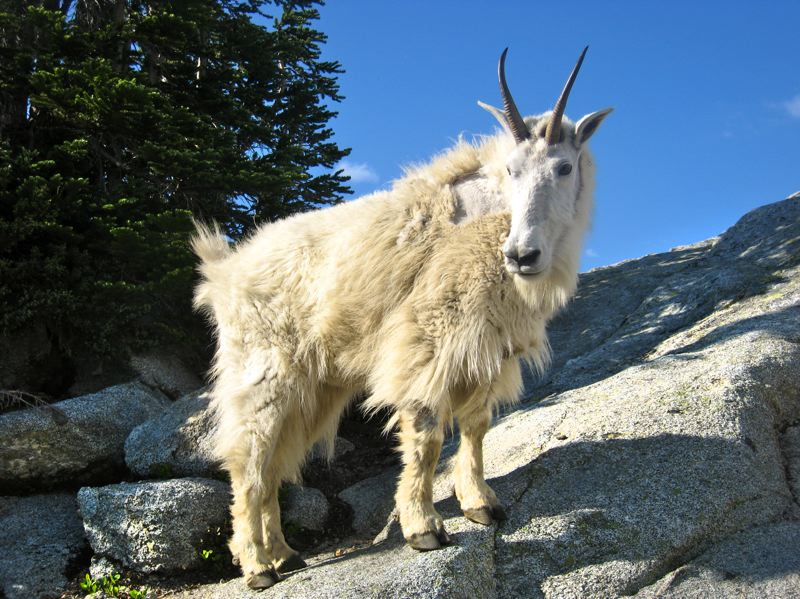 by: PHOTO COURTESY OF: GET OUT BACKPACKING - A mountain goat spotted in Alpine Lakes Wilderness.