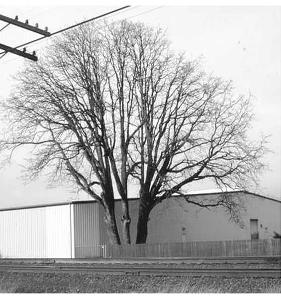 by: SUBMITTED PHOTO - Canby's Historic Review Board is starting to look at the future of a giant oak tree that was on the original Philander Lee property and how to keep its historical significance remembered today and for the future.