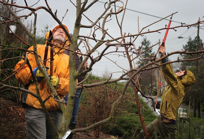 by: TRIBUNE PHOTO: JONATHAN HOUSE - Jeff Shang joins fellow neighbors at a volunteer work party for the Sabin Community Orchard last Sunday. Grant funds paid for the addition of bee-friendly trees, plants and shrubs to the orchard last summer.
