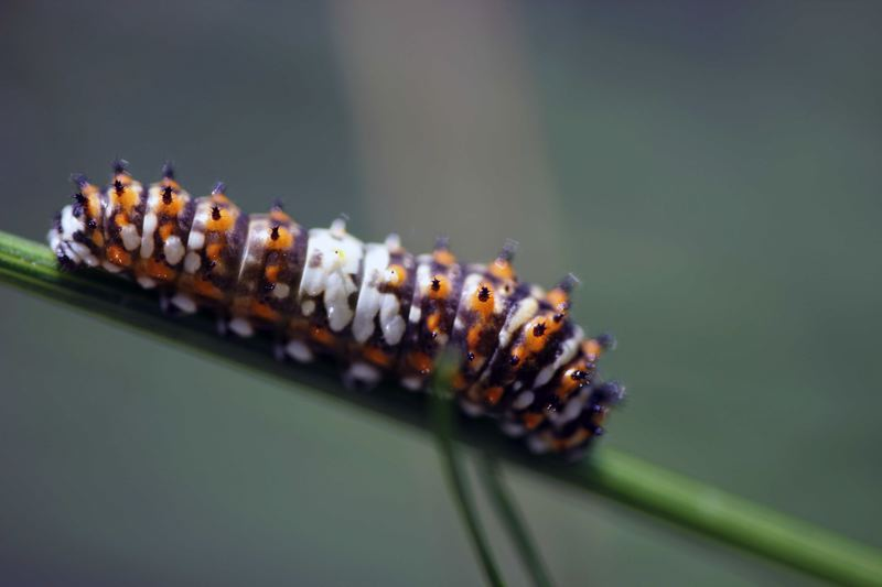 by: PHOTO COURTESY OF SYLVIA HARRINGTON - Black swallowtail caterpillar