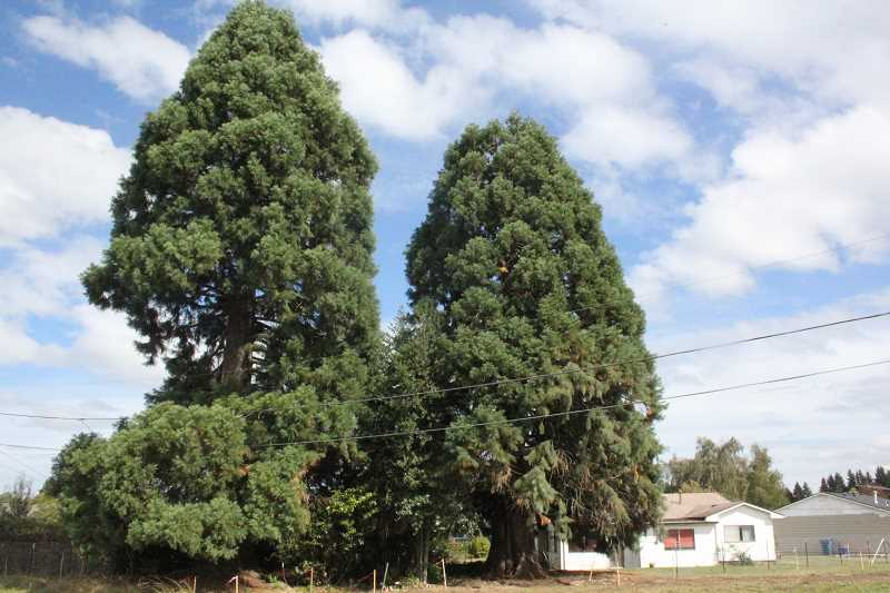 by: FILE PHOTO - The sequoia on the right will likely be taken down within days or hours of approval from the city of Woodburn.