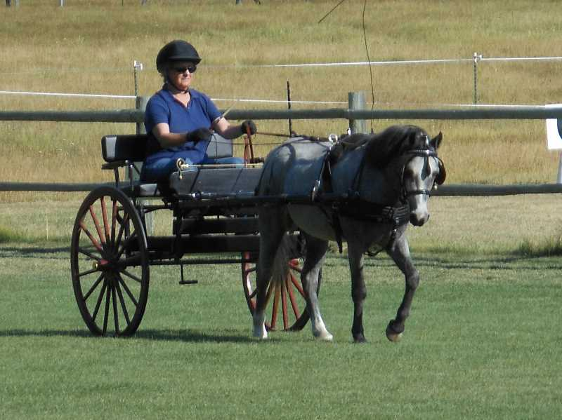 by: CONTRIBUTED PHOTO - Powell Butte resident Helen Bandy is a member of the Driving Enthusiasts of Central Oregon who drive horse-drawn carts for leisure and competition.