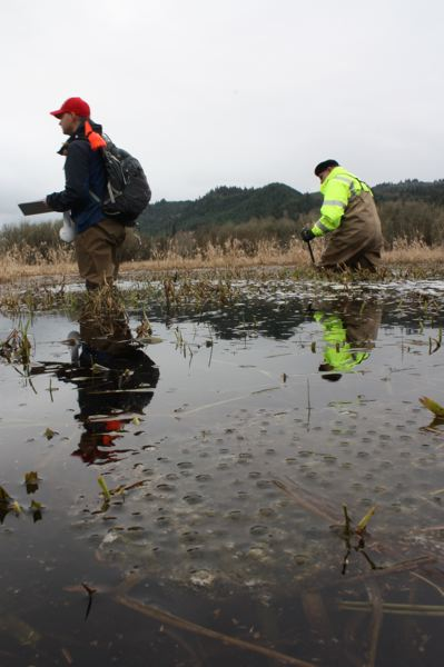 by: SPOTLIGHT PHOTO: ROBIN JOHNSON - Surveyors Bill Bennett (left) and Jeff Booth (Right) wade through the Duck Lake Wetlands, sweeping the area for amphibian egg masses. A red-legged frog egg mass can be seen floating near the surface of the water in the foreground of the above photo.