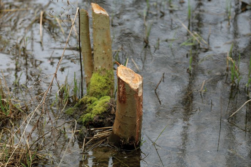 by: PAMPLIN MEDIA GROUP: JONATHAN HOUSE - Freshly gnawed wood indicates where beavers on John Youngs property gathered materials for a dam.