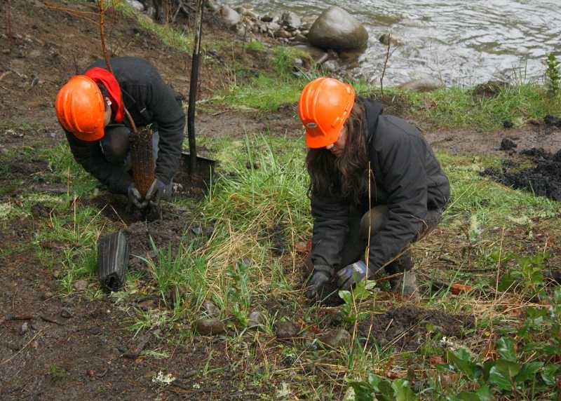 by: BILL TAYLOR - Corps members planiting small trees on Molalla River bank