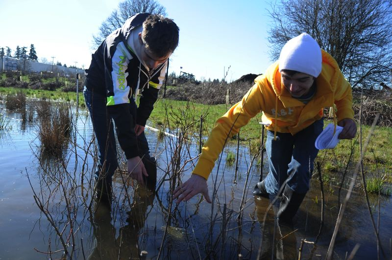 by: PHOTO BY STEVE ST. AMAND - (From left) Clackamas Web Academy students Samuel Georgiyev and Max Skvortsov find a western tree frog egg sac in the wetlands at Three Creeks Natural area, just north of an industrial area that includes McFarlane's Bark.