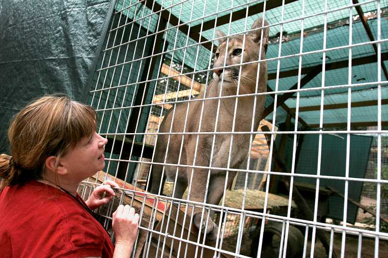 Cheryl Tuller, co-founder of Wildcat Haven Sanctuary in Sherwood, gives a tour of one of the cougar enclosures in 2006. Oregon OSHA announced Monday that the sanctuary would faces $5,600 in fines for serious safety violations that lead to the death of its head keeper, Renee Radziwon-Chapman