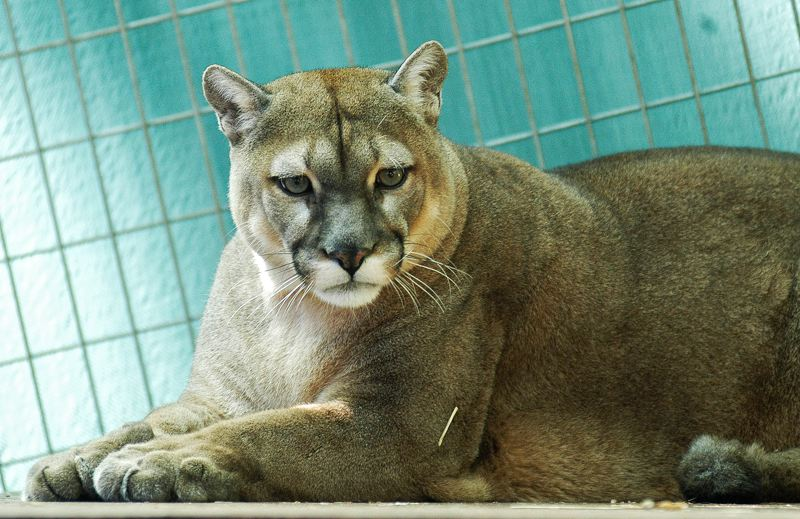 by: SPOKESMAN FILE PHOTO: JOSH KULLA - Wildcat Haven employee Renee Radziwon-Chapman died last November after being mauled by one or more cougars like the one pictured at the Wildcat Haven outside Wilsonville. OSHA has fined the sanctuary $5,600 over the incident.