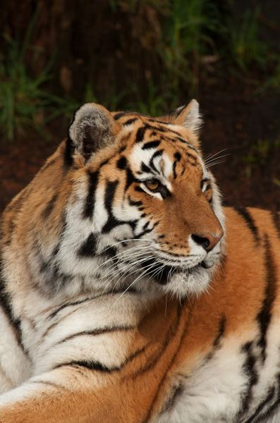 by: PHOTO BY MICHAEL DURHAM, COURTESY OF THE OREGON ZOO. - Nicole, a 15 year-old Amur tiger  at the Oregon Zoo, died unexpectdly Monday.