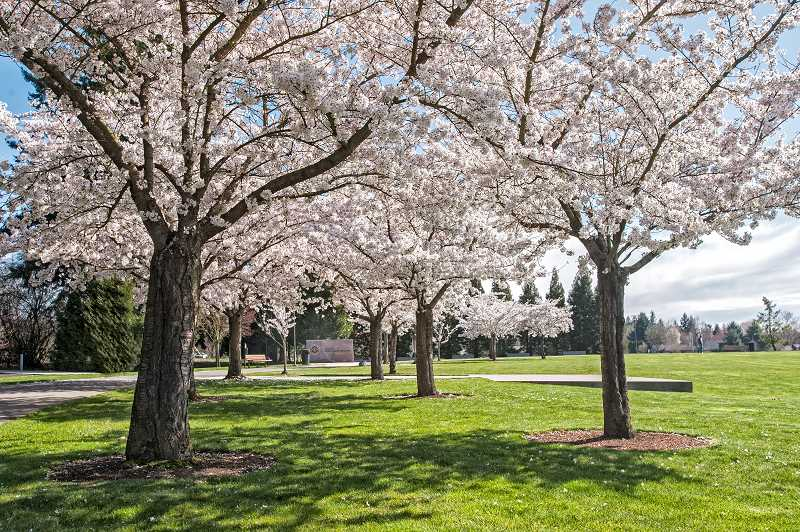 by: SPOKESMAN PHOTOS: JOSH KULLA - The Korean War Memorial at Town Center Park is all the more attractive when framed with blooming cherry trees. Flowers exploded out of the ground last week as the vernal equinox welcomed in the change of seasons with a burst of color.