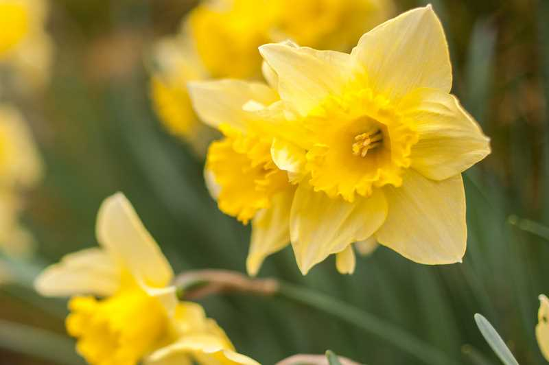 by: SPOKESMAN PHOTOS: JOSH KULLA - Daffodils, cherries, plums and other seasonal flowers made bold appearances last week, including these daffodils at the Wilsonville Community Center.
