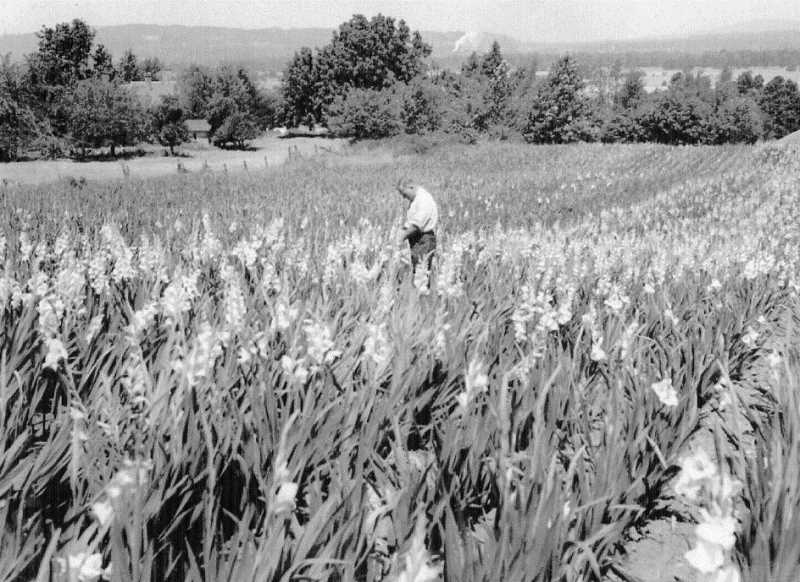 by: SUBMITTED - A gladiolis field in Woodburn during the 1950s or '60s.