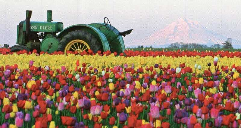 by: SUBMITTED - This view of a tractor and Mount Hood from the Wooden Shoe Tulip Farm is a common sight in spring at the annual Woodburn Tulip Festival.