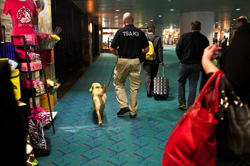 by: TRIBUNE PHOTO: JAIME VALDEZ - Labs and retrievers are the only dogs used to sniff for explosives at PDX, because studies show they have a calming influence, and calming travelers is a priority for airport security.