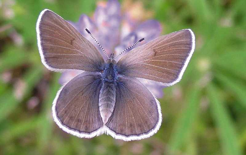 by: SUBMITTED - Nature - Both the Fender's butterfly and the Kincaid lupine are part of the upland prairie ecosystem found in portions of right-of-ways owned by Yamhill County.