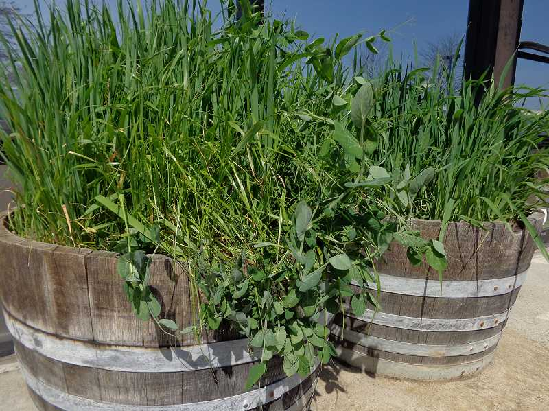 by: COURTESY PHOTO - This cover crop experiment planted last fall, shows how plants in the pea family along with other crops can be used to increase soil health between seasons even in small spaces and even during the winter.
