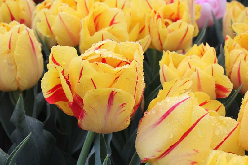 by: TYLER FRANCKE - Tulips are in full bloom this week at Wooden Shoe Tulip Farm.