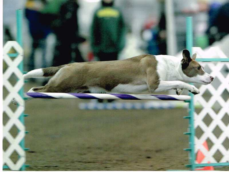 by: SUBMITTED PHOTO: GARY HARTMAN - Keeva, a 2-year-old mixed-breed dog, jumps over a bar. Agility enthusiasts say the sport provides exercise for people and animals alike.