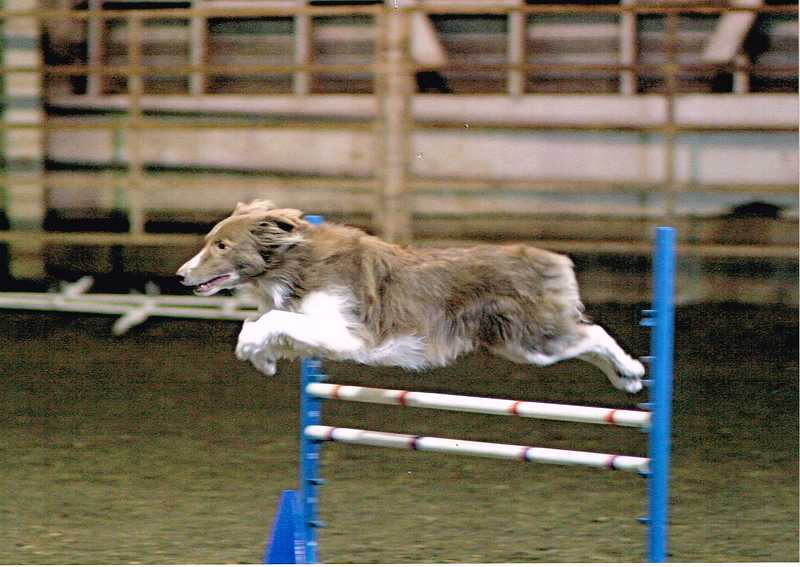 by: SUBMITTED PHOTO: GARY HARTMAN - An 11-year-old border collie named Damon soars over an obstacle. Border collies are popular in the sport of agility, but many other kinds of dogs also participate.