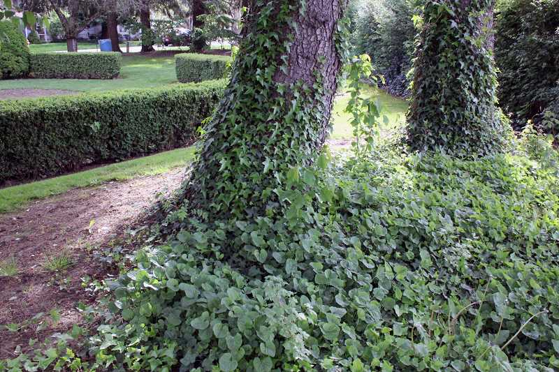 by: TYLER FRANCKE | WOODBURN INDEPENDENT - Multiple species of ivy and other invasive creeping plants are encroaching on the borders of Alvah G. Cowan Park, as well as a neighboring property.