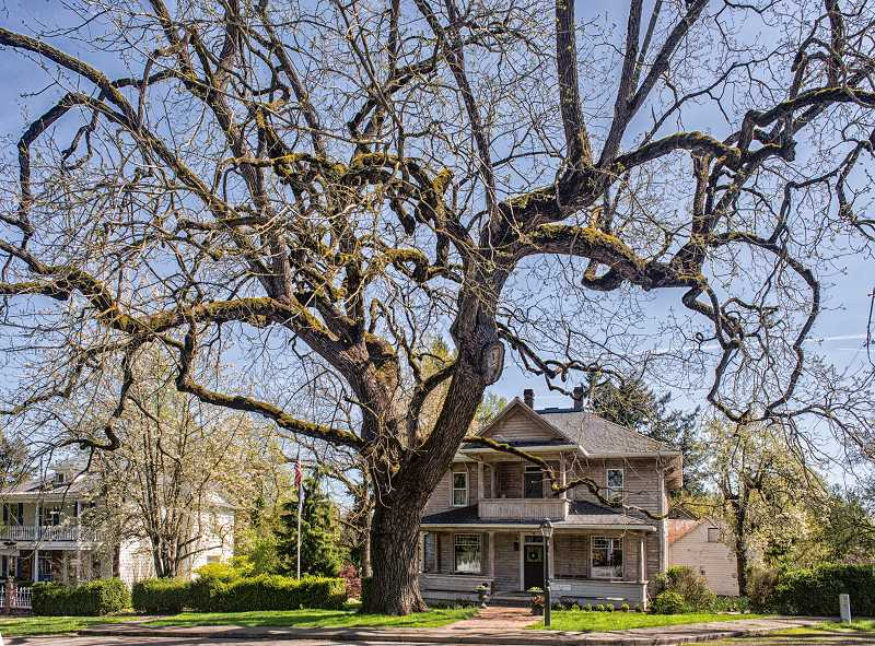 by: RAY HUGHEY - This Black Walnut tree on Liberty Street in Aurora has been inducted into the 2014 class of the Oregon Heritage Tree Program.