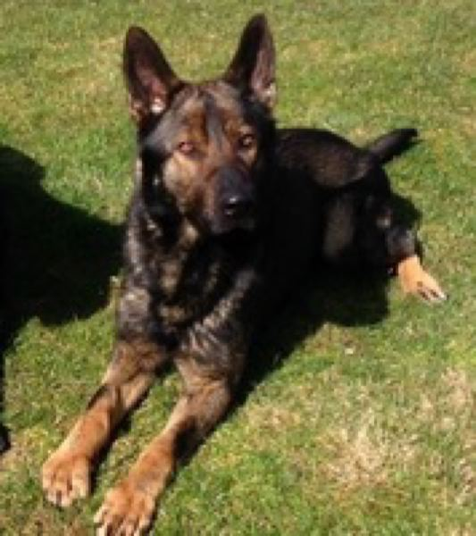 by: PORTLAND POLICE BUREAU - Mick, the K-9 partner who was killed in Wednesday's officer-involved shooting incident