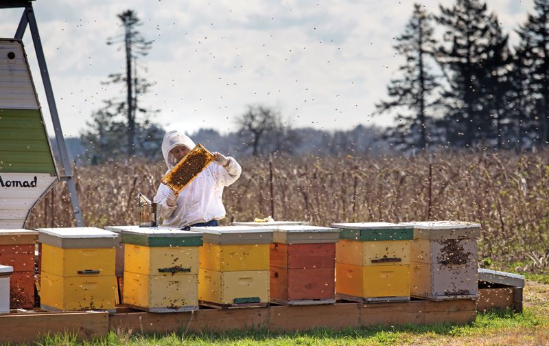 by: PAMPLIN MEDIA GROUP: JONATHAN HOUSE - The Xerces Society of Portland is working with farmers and others to protect bees. Legislation that would have banned some insecticides that are harmful to pollinators failed to make it through the 2014 legislative session, but Xerces officials say they plan to try again to get the legislation passed.