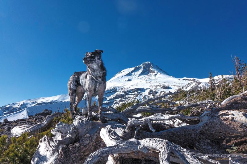 by: PAMPLIN MEDIA GROUP PHOTOS: JONATHAN HOUSE - Jonathan House, a photographer with Pamplin Media Group, has logged more than 100 hikes with his dog, Cooper, including this one on Mount Hood (at Gnarl Ridge).