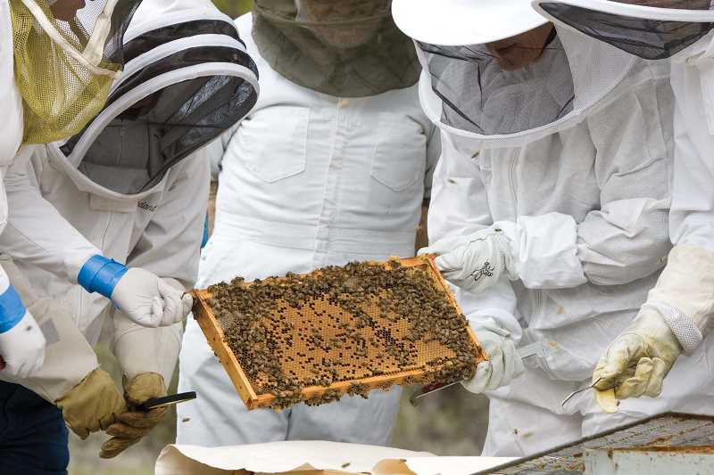 by: KEVIN SPERL - A group of beekeepers inspect a hive frame looking for the queen bee.