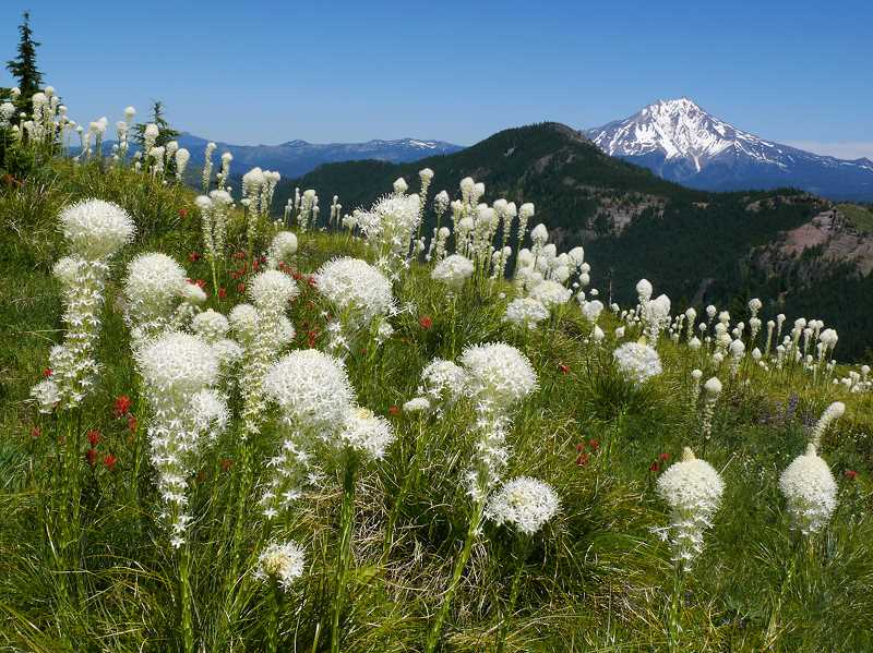 by: COURTESY PHOTO: TANYA HARVEY - The majority of species featured in the Oregon Wildflower app, such as beargrass, are native to the region, with some introduced species that have become established. Plants are organized by common name, scientific name or family, which app users can identify by browsing through high-resolution photographs.