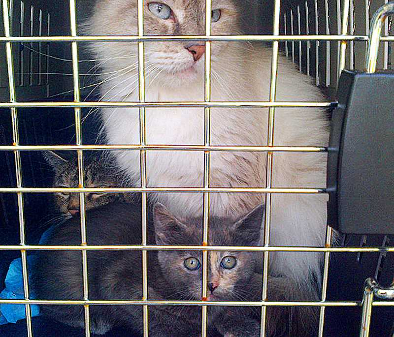 by: COURTESY OF OREGON HUMANE SOCIETY - Overwhelmed owner - A Newberg woman surrendered her 59 cats to the Oregon Humane Society after a welfare check at her apartment. The cats appear to be in good health and will be up for adoption soon, OHS officials said.