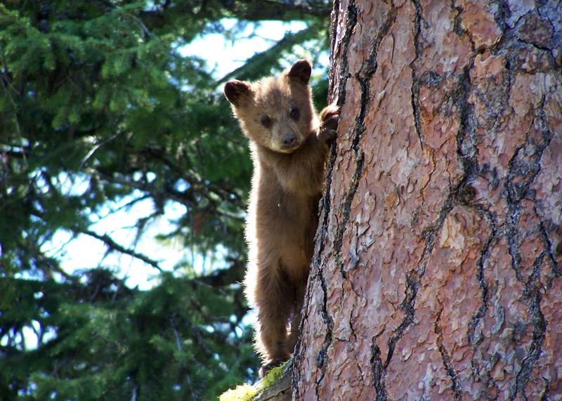 by: CONTRIBUTED PHOTO: OREGON DEPARTMENT OF FISH AND WILDLIFE - Black bears come in shades of brown as well.